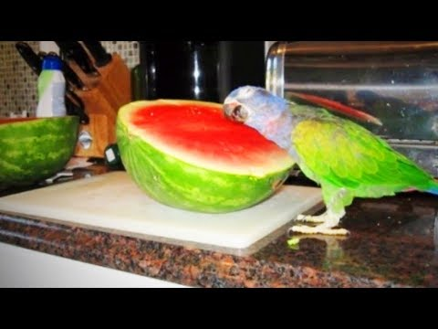 Funny Parrots 🐦 😂  Cute and Awesome Parrots (Full) [Funny Pets]