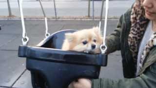 Choochoo's First Time On A Swing [pomeranian]