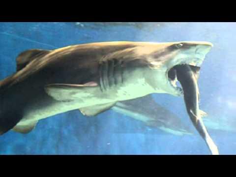 Japanese aquarium staff horrified by shark that went cannibalistic