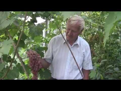 Виноград на даче в Подмосковье. Виктор Шишкин. Саженцы винограда. Посадка винограда
