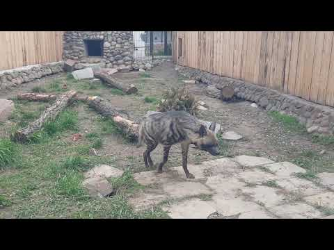 A pair of East African Striped hyaenas