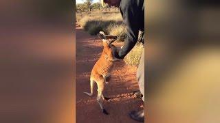 いかないでー!そばにいたいの。孤児となったカンガルーの子どもが人間に愛を求める(オーストラリア)