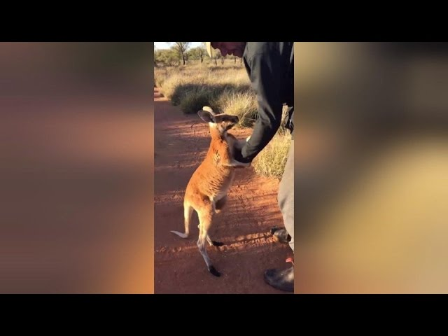 Watch This Clingy Orphaned Kangaroo Refuse To Let Go Of His Rescuer
