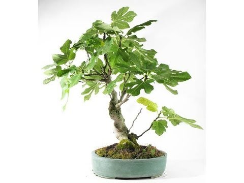 Ficus carica 'Common Fig' | Small Edible Fig Bonsai