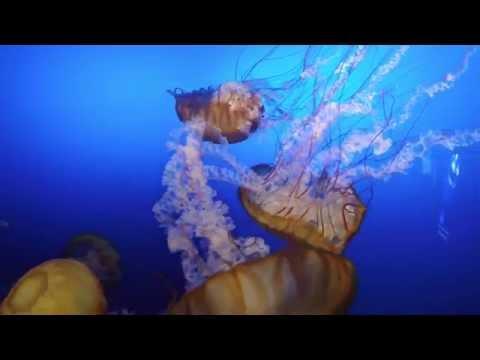 Giant Jellyfish at the Aquarium Omaha Henry Doorly Zoo