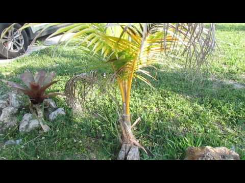 Coconut Palms Part 2 - Potting Up and Care For Juveniles.