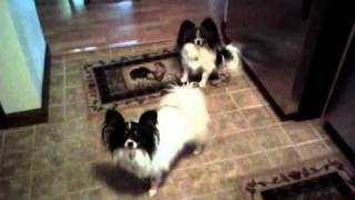 Papillon Dogs Quila And Puppers The Fringe Queens