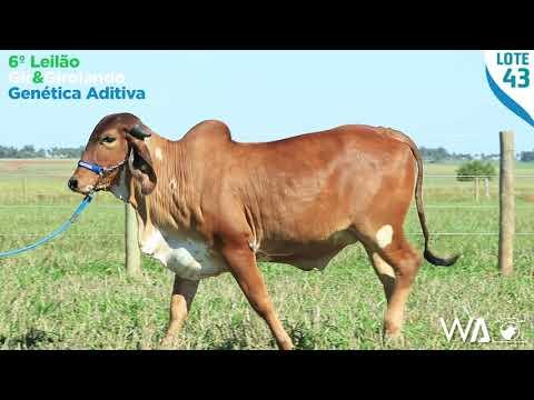 LOTE 43 - REMG 503 - 6º Leilão Gir & Girolando Genética Aditiva