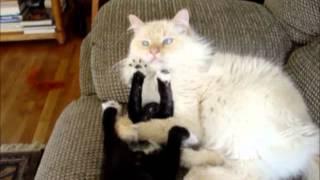 Naughty Kitten Annoys Sleeping Cat