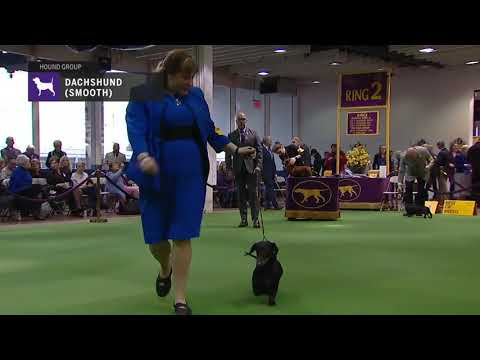 Dachshunds (Smooth) | Breed Judging 2019