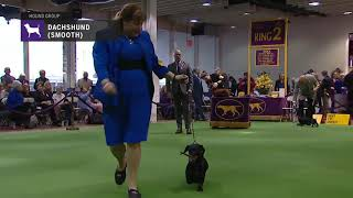 Dachshunds (Smooth)   Breed Judging 2019