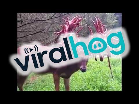 Buck Sheds Antlers || ViralHog