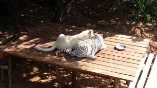White lion and White tiger cubs having lunch!