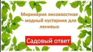 Мирикария лисохвостная - модный кустарник для ленивых