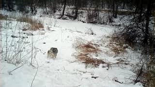 Шок! Волк хотел полакомиться собакой, но та бесстрашно дала ему отпор.