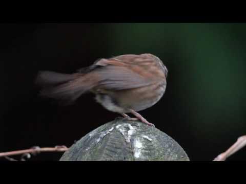 Sparrow - Morning Song 1