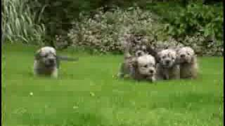 First Time in the Garden Cute Dandie Dinmont Terrier Puppies