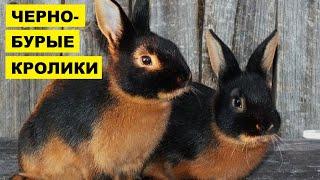 Разведение кроликов Черно-бурой породы как бизнес идея | Черно-бурый кролик