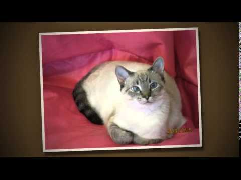 Siamese Cat Rescue Year 1 Fosters