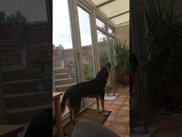 Cassie the Singing Dog