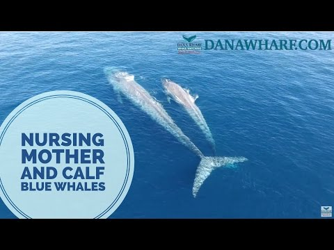 Blue Whale Nursing Mother and Calf