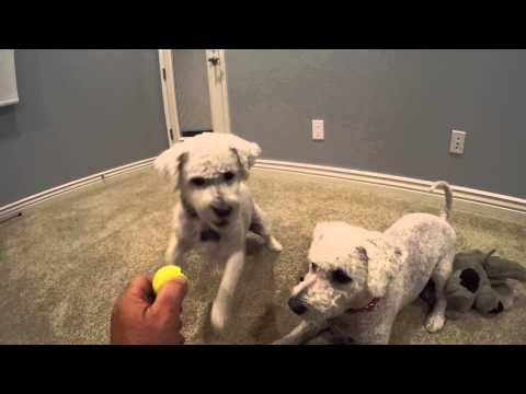 Bichon Frise Dogs Playing with Balls & Elephant