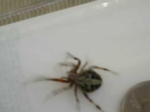 Barn Spider Or Garden Orb Weaver Spider 1 Youtube