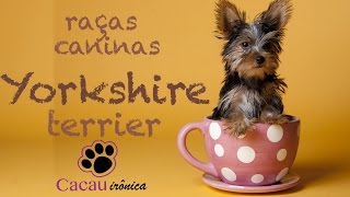 Yorkshire Terrier - Raças Caninas