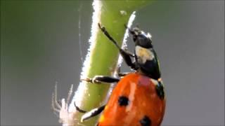 LadyBug Muncha Muncha Muncha on Aphids in HD (How to get rid of  Aphids)