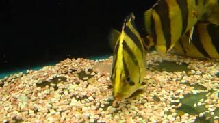 Tiger Fish - Mekong Datnoid