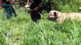Armenia Собаки идущие на волков