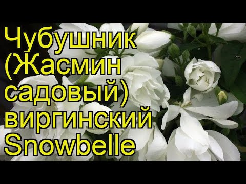 Чубушник венечный Сноубель (Snowbelle). Краткий обзор, описание характеристик, где купить саженцы