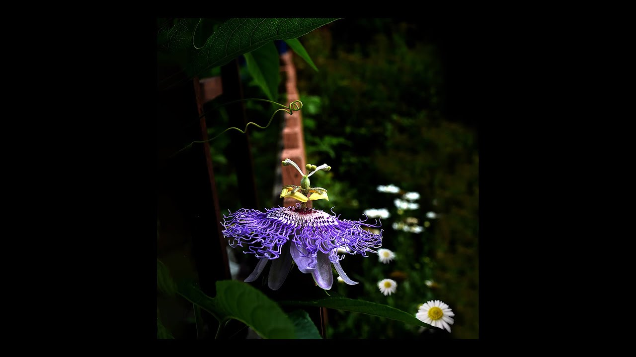 A Passion for Passionflower