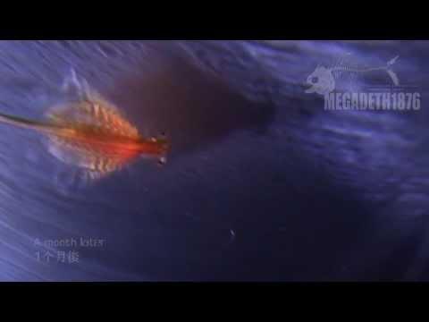 Brine Shrimp's short life