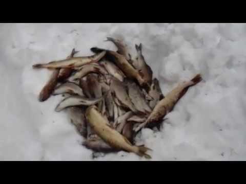 ловля ельца зимой в архангельской области