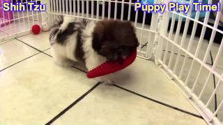 Shih Tzu, Puppies, For, Sale, In, Minneapolis, Minnesota, Mn, Inver Grove Heights, Roseville, Cottag