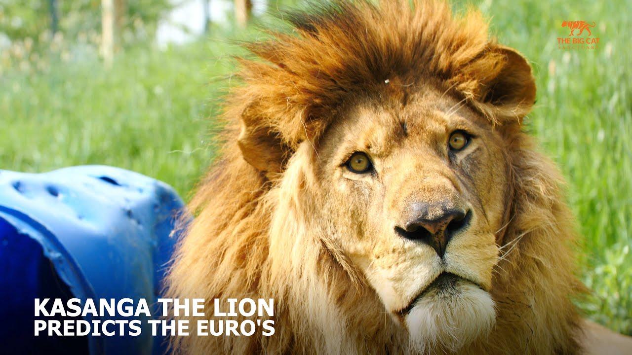 Kasanga the African Lion predicts England vs Croatia; EURO 2021 ⚽