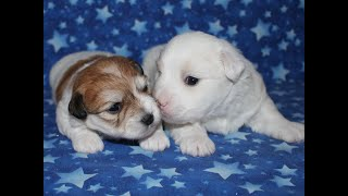 Coton Puppies For Sale 1/21/20