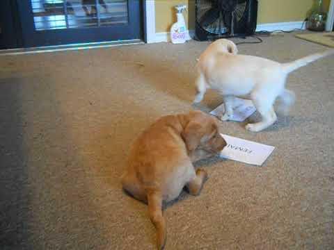 PuppyFinder.com : Labradoodles at 6 weeks