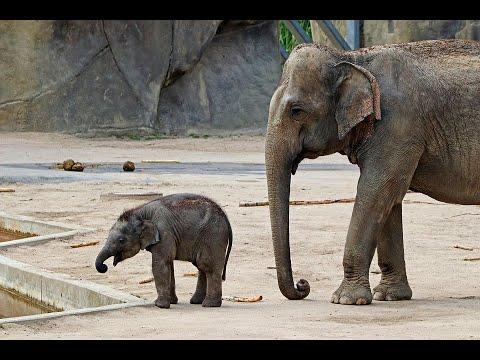 منوعات الآن | ولادة صغير الفيل في حديقة الحيوان البلجيكية  - نشر قبل 2 ساعة