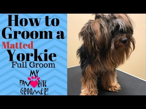 Grooming a Matted Yorkie