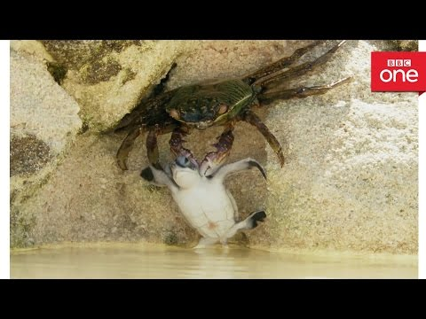 Baby turtle vs crab - Animal Babies: Episode 2 - BBC One