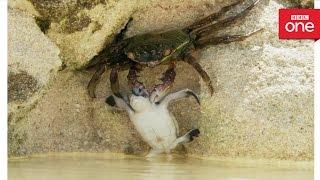 Baby turtle vs crab - Animal Babies: Episode 2 - BBC One