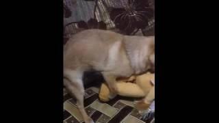 Собака Кнопка  трахает игрушку 08.06.2018 год