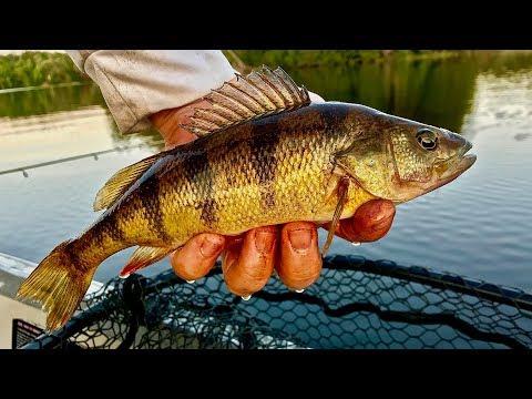 Fall Perch and Smallmouth Bass Fishing! (Big Perch)