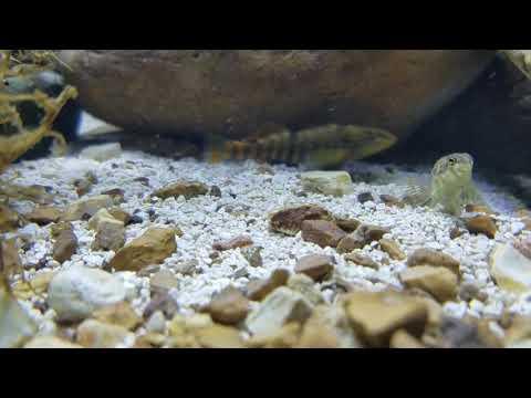 Native Aquarium.  Orangethroat Darter,  Banded Darter,  Bluegill