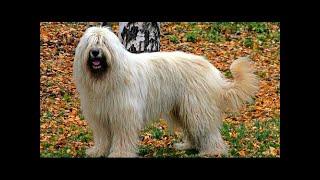 ロシア南部のオヴァカーカ(Ovtcharka)は非常に大きくて丈夫な犬です。...