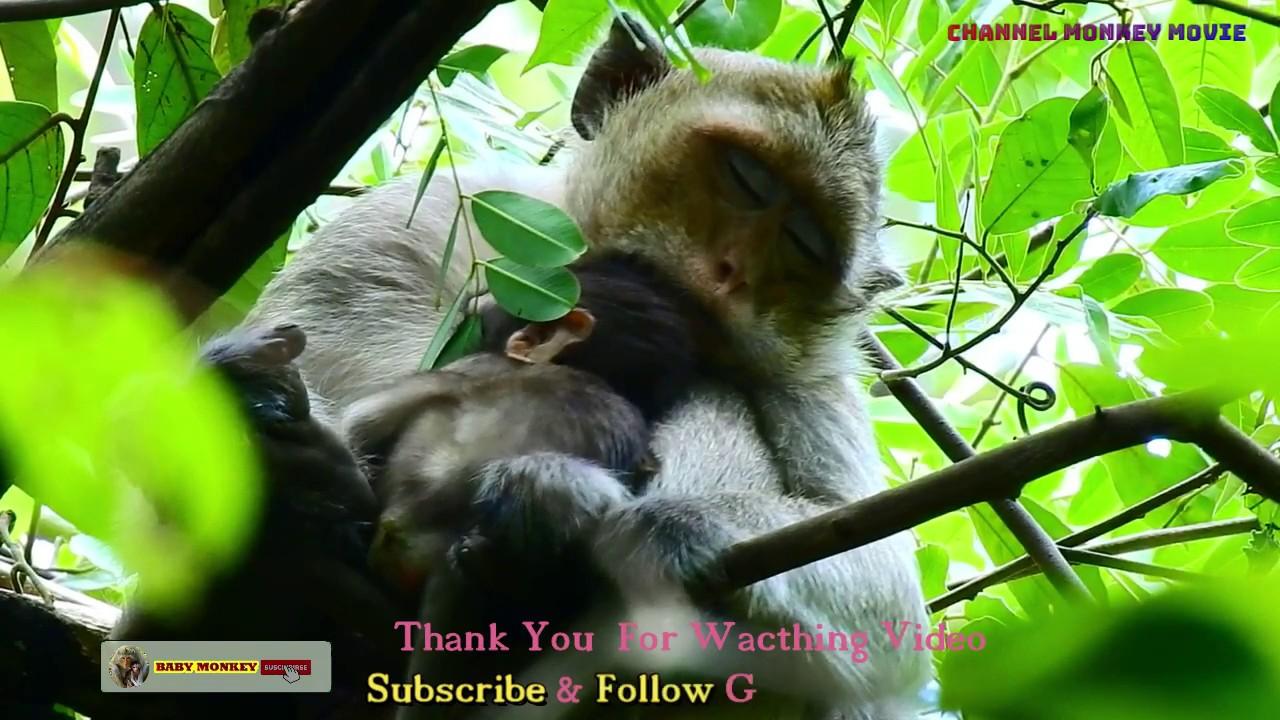 baby monkey & layla still hiding her baby on the high tree By : #Monkey Movie