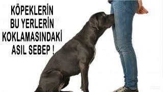 Köpeklerin, Mahrem Yerlerin Koklamasının sebebi budur - HEMEN ÖĞRENİN !!