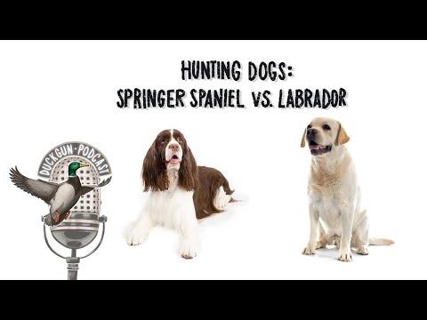 Springer Spaniel VS Labrador w/Barton Ramsey